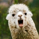 Plenty of Jobs for Teens, Like Wrangling an Alpaca, If They Want Them, Report Finds