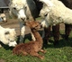Photo of ALPACAS of NH OLIVER'S BOGART