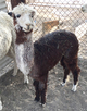 Photo of Young Suri Starter Herd