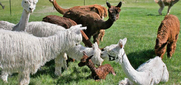 alpaca farming in Colorado