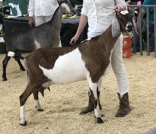Camelia Grand Champion ring 2 at FL State Fair 2020