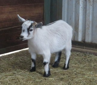 Goatzz Pygmy Goats For Sale