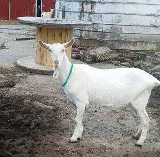 Goat For Sale: Ohio, Wooster: Harvest Hills Farm