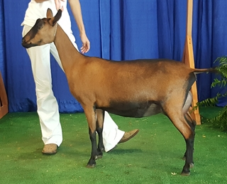 2018 Indiana State Fair - Yearling