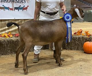 FISCHER FF VA QUEEN ELIZABETH Grand Champion Junior in ring 1 at 18 months, Southern Browsers Show 2020