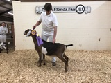 Fischer FF Milano at 19 months, Grand Champion and BJDIS at North FL Fair 2018