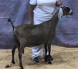 Admiral's Dam at 2019 National Show 6th pl 4 yr old