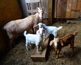 Deja Blue with her dam (Roho's Big Bertha) & her 2 brothers. A patriotic red, white, & blue kidding!