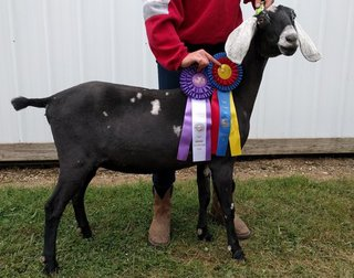 Lydia won Jr. Grand Champion Nubian and Jr. Best  in Show at the Stark County Fair in 2016 and 2017