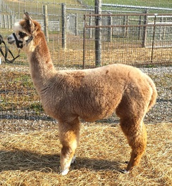 Photo of Gray Alpaca Co's Callie's Ripken
