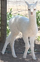 2013 Male Cria (Blizzard) by Justice