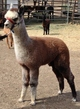 2015 Female Cria (3 Months) by Amego