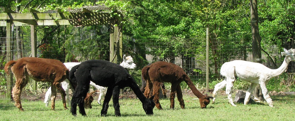 Little Creek Alpacas is a farm located in Havelock, North