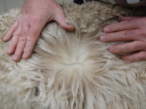 Spain's fleece