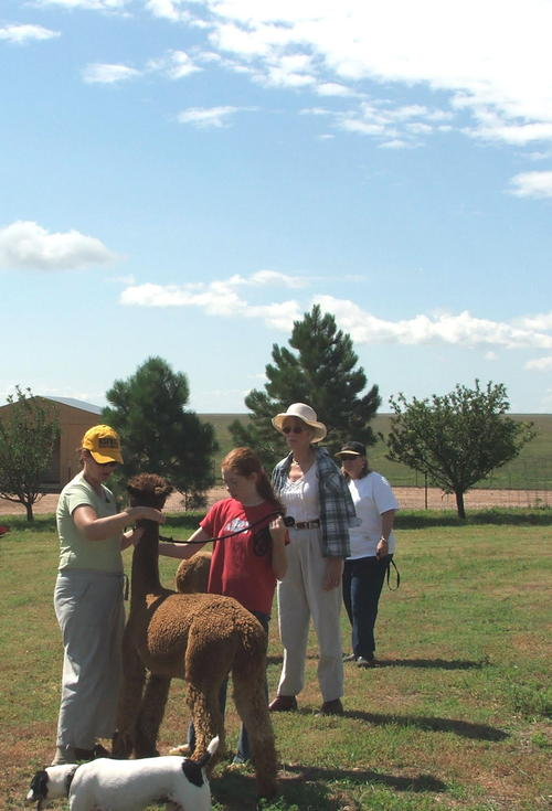 Practicing for the State Fair Alpaca Show...