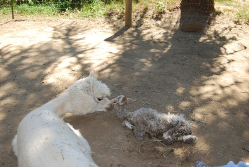 Moon with Cria less than an hour old