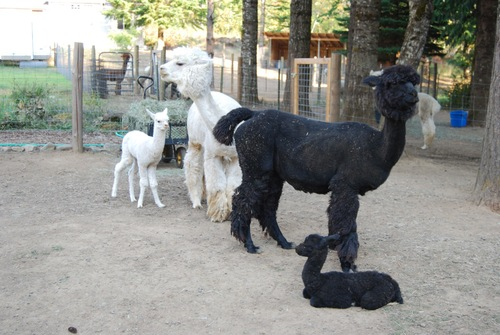 Pearla with Max and Moon and her cria