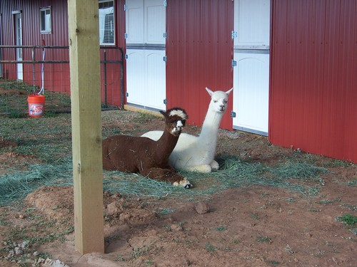 Cimarron and Frisco at the new barn