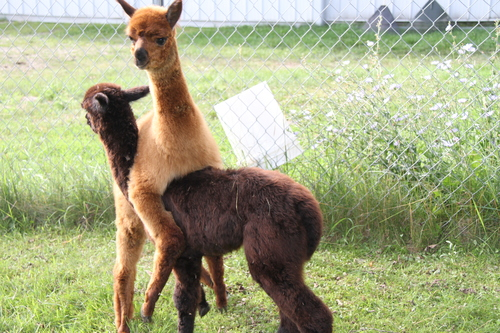 We do not produce two headed alpacas.
