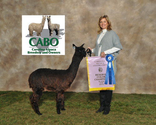 Saber's Blackstone- 1st & Reserve Champion  Juv Black Suri male