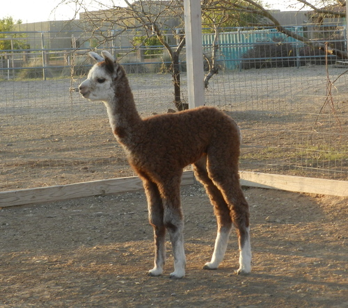 GreyHawk at 7 days old