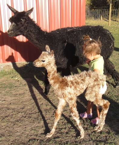 Akianna and her cria Apache