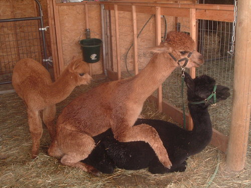 Breeding posture with inquisitive cria