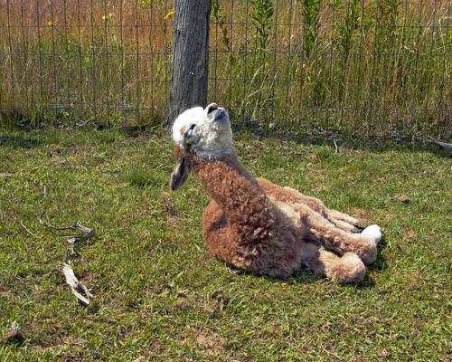 Baby alpaca (cria) enjoying the sun