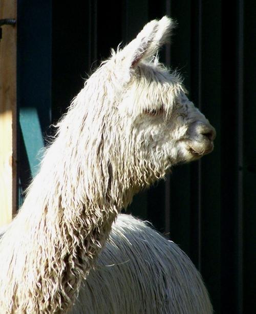 A 6 month old Suri Alpaca