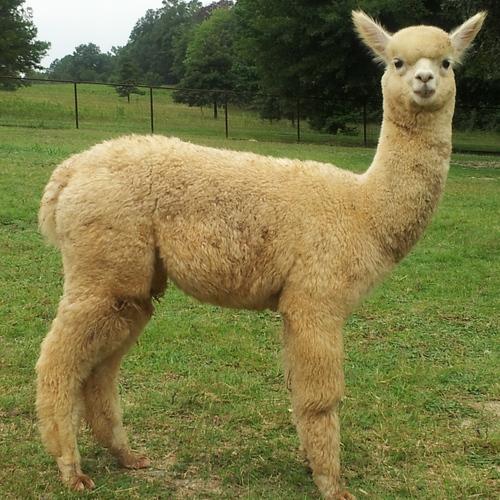 how to start an alpaca farm