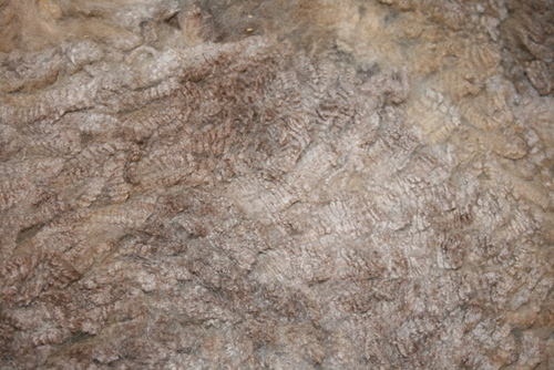 Keeley Cloud - 2012 AOBA Nat. Res. Champion Fleece