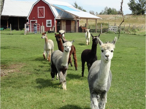 Justa alpaca farm is an alpaca farm located in farmington for Alpacas view farm cuisine