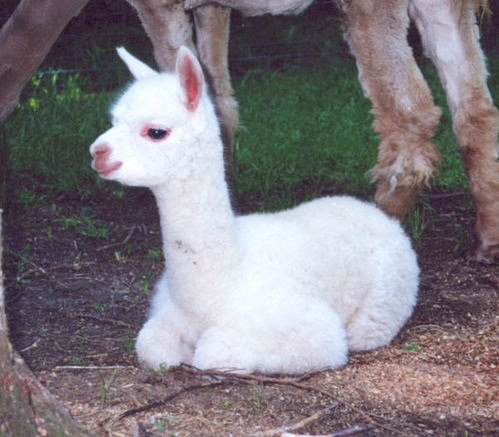 Kids Can Meet Alpacas This Weekend
