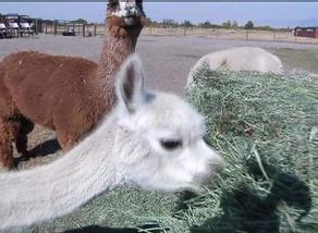 Alpaca Ranching becoming more popular in Montana