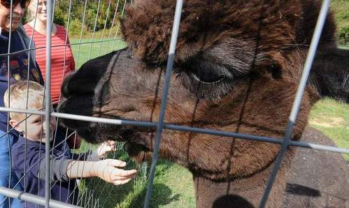 Alpaca Farm Days offer closer look