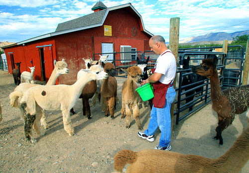 Colorado Residents find alpacas anything but taxing