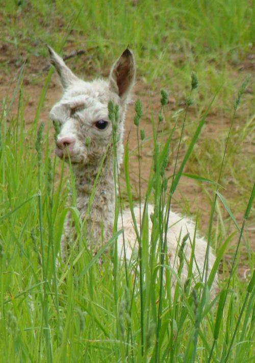 2012 Cria in the grass