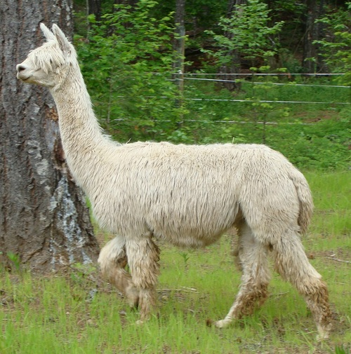 Steelhead Ranch Alpacas: Alpaca Description