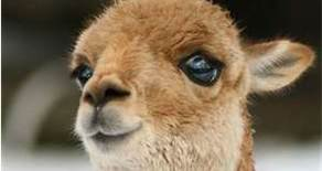 :)Always Smiling Alpacas(:: Did You Know......
