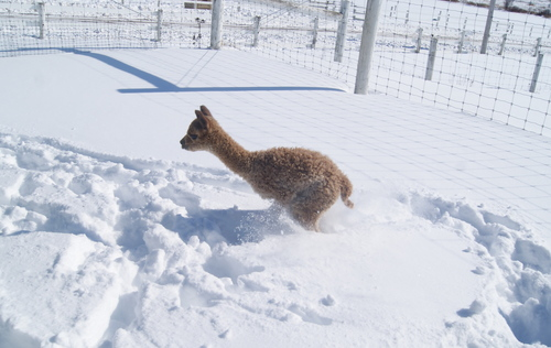 Even the little ones are hopping through the snow!