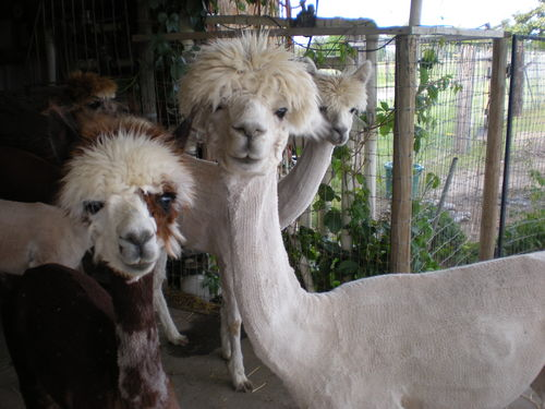 The Range Yakima >> Openherd: YAKIMA RIVER ALPACAS is a farm located in Richland, Washington owned by Dan & Sandy ...