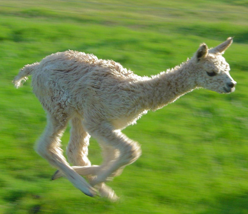 A baby alpaca, known as a