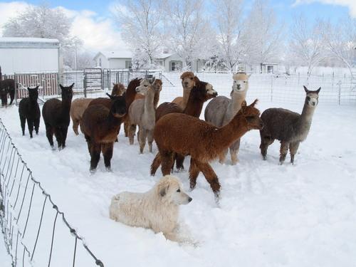 Openherd Arizona Alpacas Is An Alpaca Farm Located In