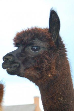 6aabbdd8663b Alpacas For Sale  Pietro s Aquinnah of Island Alpaca  Huacaya ...