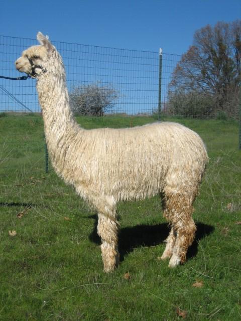 addd94c186 Alpacas For Sale  El Dorado High Fashion by Armani  Suri