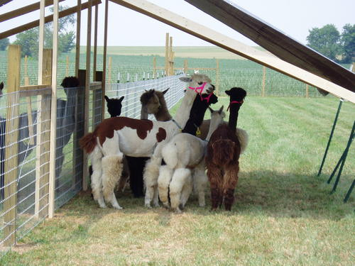 2004 in the beginning ...Huacaya Alpacas For Sale