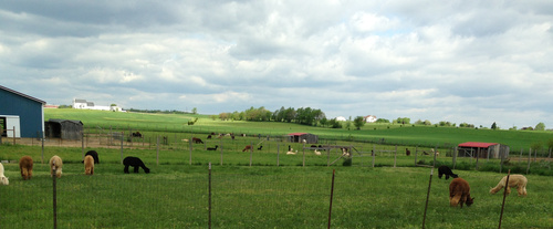 ...run in sheds and almost 50 alpacas!