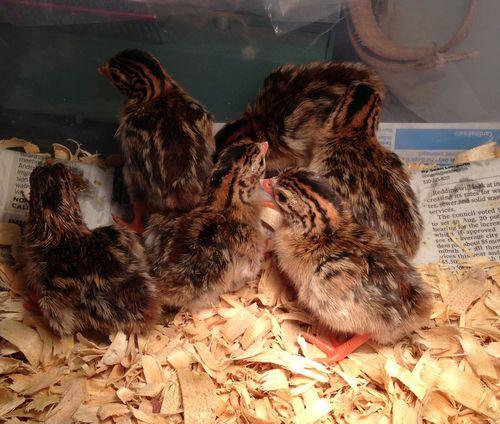 Guinea Chicks