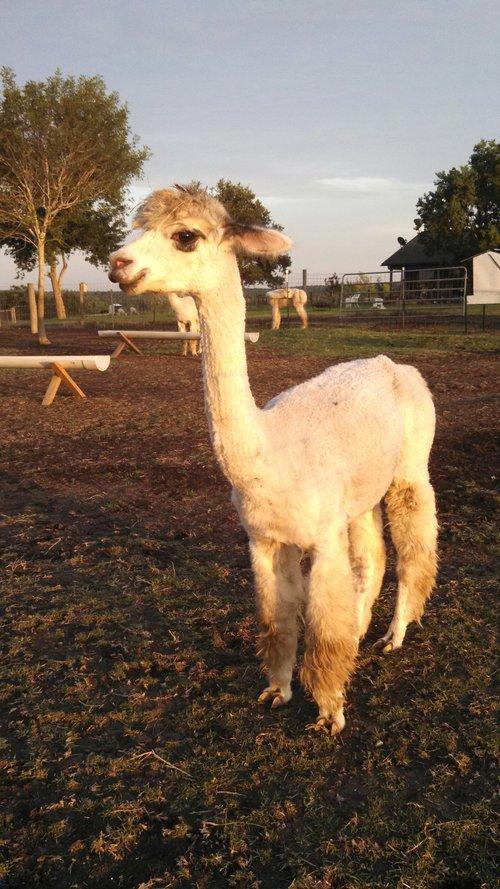 Kumara due March 2017