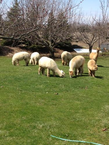 Our Alpaca's